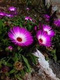 Schöne kleine rosa e-weiß Blumen Stockfotos