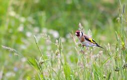 Schöne kleine Vogel Goldfinchstütze am Stamm von Florida Stockfoto