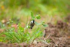 Schöne kleine Vogelmeise, die auf Niederlassung sitzt und Samen isst lizenzfreie stockfotografie