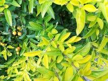 Schöne Kombination des Grüns und des Gelbs verlässt mit Früchten Lizenzfreie Stockfotos