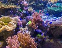 Schöne Koralle im Underwater mit bunten Fischen Lizenzfreie Stockbilder