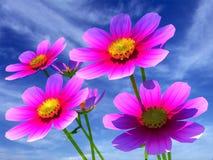 Schöne Kosmos-Blumen Stockbilder