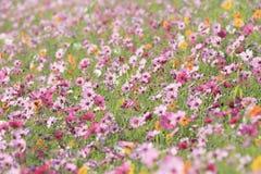 Schöne Kosmosblumen im Garten Stockfotos