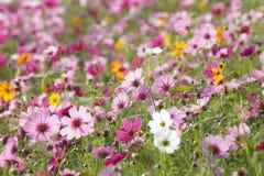 Schöne Kosmosblumen im Garten Lizenzfreie Stockbilder