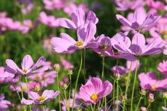 Schöne Kosmosblumenblüte im Garten lizenzfreies stockfoto