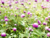 Schöne Kugelamarant Blume Lizenzfreies Stockbild