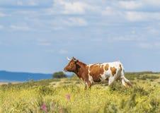 Schöne Kuh mit Hörnern auf grünem Feld Lizenzfreies Stockfoto