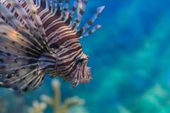 Schöne Löwefische im Meer Stockfotos