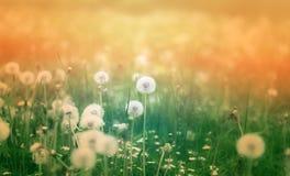 Schöne Löwenzahnblumen Stockbilder
