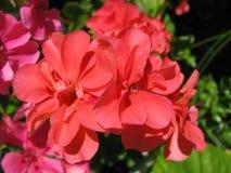Schöne Lachs-farbige Blumen von Efeublatt Pelargonie PAC-Aprikose Lizenzfreies Stockbild