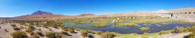 Schöne Lamas in den Anden in Südamerika lizenzfreie stockfotos