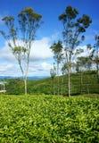 Schöne Landschaft, Baum, Teehügel, Dalat-Reise Lizenzfreie Stockfotos