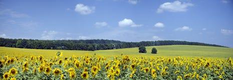 Schöne Landschaft der Felder mit Sonnenblumen Lizenzfreie Stockfotos
