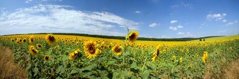 Schöne Landschaft der Felder mit Sonnenblumen Stockfotografie