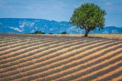 Schöne Landschaft des blühenden Lavendelfeldes, einsames Baum uphil lizenzfreies stockfoto