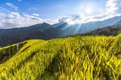 Schöne Landschaft des goldenen Reisfeldes oder -Reisfelds mit blauem Himmel und Wolke stockfotos