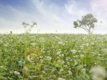 Schöne Landschaft des großen Buchweizenfeldes, das weißen Buchweizen zeigt, blüht in der Blüte und in einem einzelnen Baum Lizenzfreie Stockfotografie
