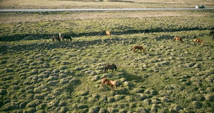 Schöne Landschaft des Lavafeldes und -pferde, die auf ihm weiden lassen Tiere, die auf den Bauernhof nahe der Straße gehen stock footage