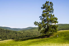 Schöne Landschaft, Koniferenbaum Lizenzfreie Stockbilder