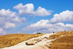 Schöne Landschaft mit blauem Himmel, weißen Wolken, gelber Wiese und Herde von Schafen montenegro Stockfoto