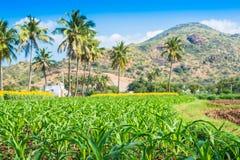 Gestalten Sie mit einem Feld der Sonnenblume und jungen Schüssen von Mais landschaftlich Stockfoto