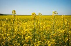 Schöne Landschaft mit Feld des gelben Canola und des blauen Himmels Stockfotografie