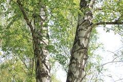 Schöne Landschaft mit jungen saftigen grünen Birken mit Grünblättern und mit Schwarzweiss-Birkenstämmen im Sonnenlicht Stockfotografie