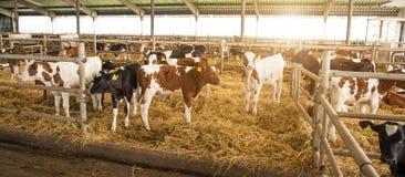 Schöne Landschaft mit Kühen auf dem Bauernhof Lizenzfreie Stockfotografie
