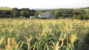 Schöne Landschaft mit Maisfeld und -landwirt ` s hous auf dem Hintergrund stock video footage