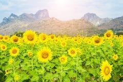 Schöne Landschaft mit Sonnenblumenfeld mit Gebirgshintergrund Lizenzfreies Stockbild