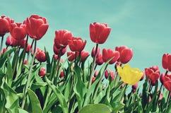Schöne Landschaft mit Tulpen in Holland (ein spezielles, exklusiv Stockbilder