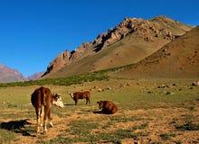 Schöne Landschaft mit Vieh in den Anden Lizenzfreie Stockfotografie