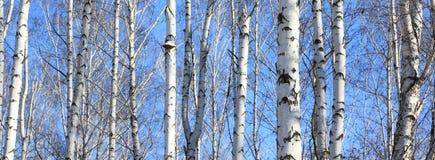 Schöne Landschaft mit weißen Birken Stockfotos