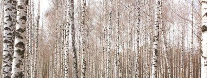 Schöne Landschaft mit weißen Birken Stockbilder
