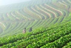 Schöne Landschaft und frische Erdbeeren bewirtschaften bei Chiangmai stockfotografie