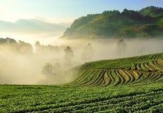 Schöne Landschaft und frische Erdbeeren bewirtschaften bei Chiangmai lizenzfreie stockbilder