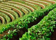 Schöne Landschaft und frische Erdbeeren bewirtschaften bei Chiangmai lizenzfreie stockfotos