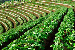 Schöne Landschaft und frische Erdbeeren bewirtschaften bei Chiangmai, Thailand stockfotografie