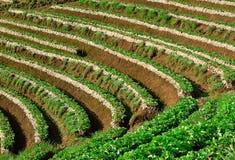 Schöne Landschaft und frische Erdbeeren bewirtschaften bei Chiangmai, Thailand stockfotos