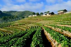 Schöne Landschaft und frische Erdbeeren bewirtschaften bei Chiangmai, Thailand stockbild