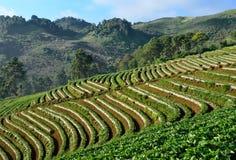 Schöne Landschaft und frische Erdbeeren bewirtschaften bei Chiangmai, Thailand lizenzfreie stockbilder