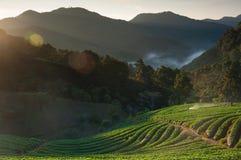 Schöne Landschaft und frische Erdbeeren bewirtschaften im Winter bei Chiangmai lizenzfreie stockfotos