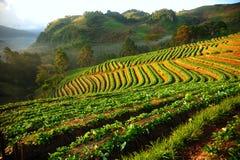 Schöne Landschaft und frischer Erdbeerebauernhof Stockfotografie