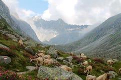 Schöne Landschaft von adamello Tal mit einer Menge von Ziegen gra Stockfoto