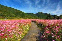 Schöne Landschaft von Kosmosblumen mit Weg Stockfotos