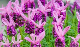 Schöne lavendars Stockfoto