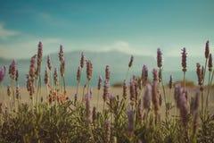 Schöne Lavendel stockfotografie