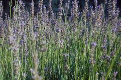 Schöne Lavendelblumen Lizenzfreies Stockbild