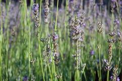Schöne Lavendelblumen Stockbilder