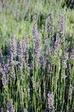 Schöne Lavendelblumen Lizenzfreie Stockfotos